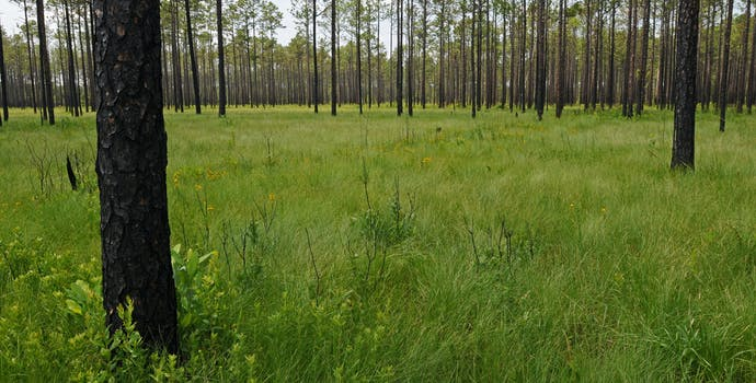 This site, Big Island Savanna in the Green Swamp of North Carolina, has some of the highest fine-scale plant species richness in the world and more than 50 species in some 1 m2 plots.