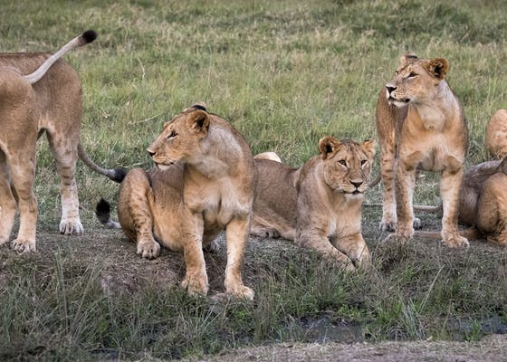 Lions near the Mara North Conservancy in Kenya.