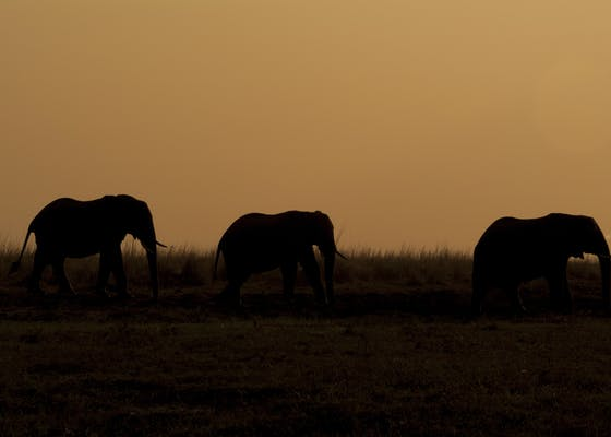 Silhouette of elephants at sunset
