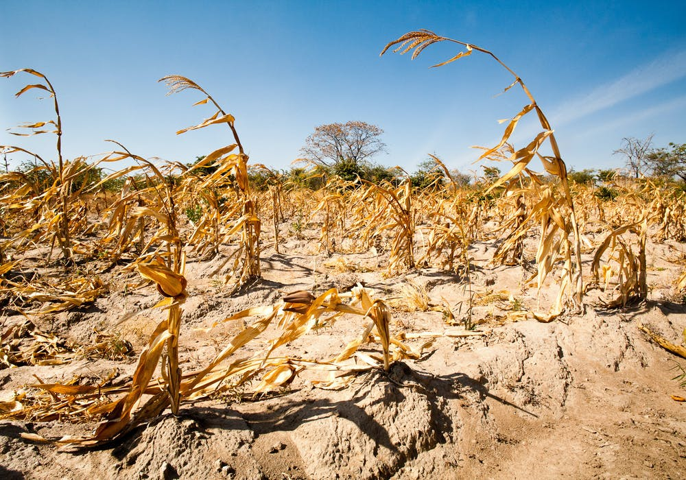 Maize field in Tanzania