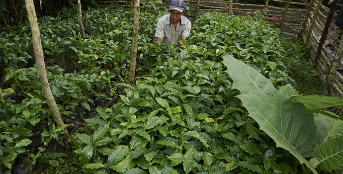 Man works in a tree nursery in the Alto Mayo Protected Forest