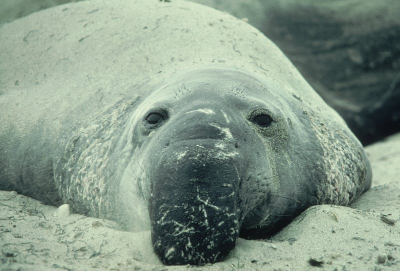 Northern elephant seals in Monterey Bay, California