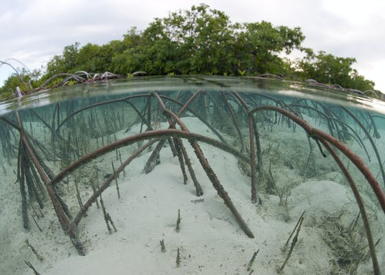 Red mangrove displaying impressive arching root system