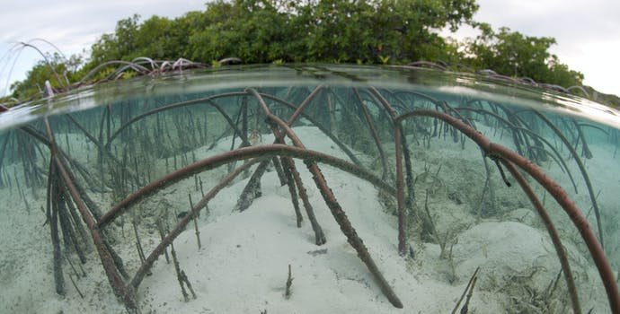 Red Mangrove displaying impressive arching root system. Shot in Exuma Cays Land and Sea Park, Bahamas