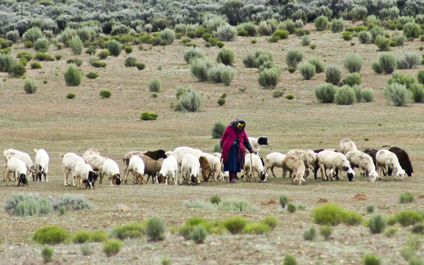 Old women bringing in the sheep and goats in Kamiesberg, Namaqualand.
