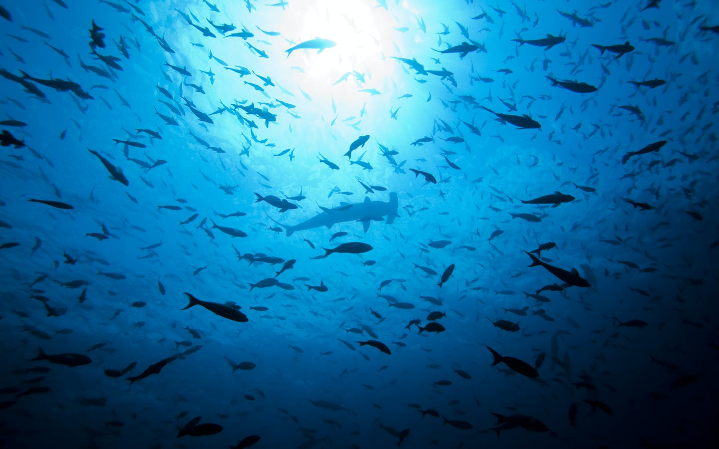 Illegal shark fishing along with increasing demand for shark fin soup has led to the removal of 95% of these beautiful Scalloped Hammerheads.