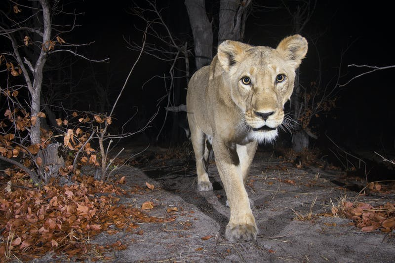 Female lion (Panthera leo) in the Zambezi Region of Namibia