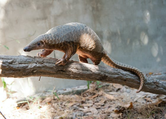 A pangolin climbs a branch