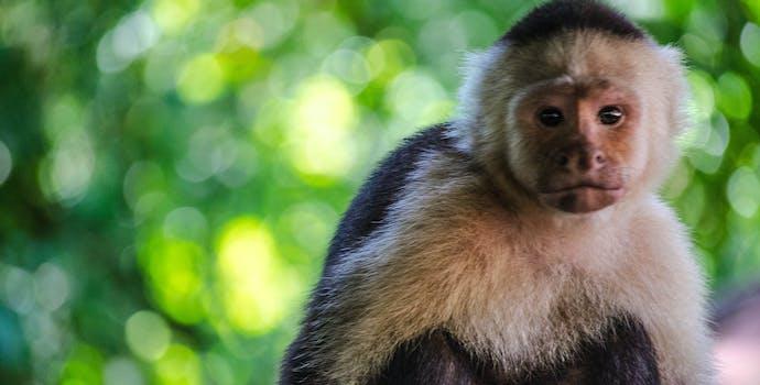 Capuchin Monkey (Cebus capucinus), Costa Rica