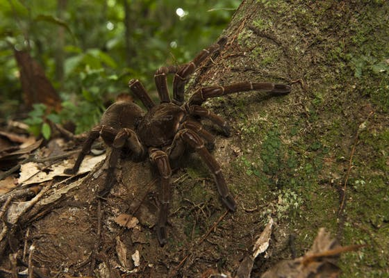 Goliath Bird-eating Tarantula (Theraphosa blondi), the largest spider in the world, near Rewa River in Guyana.