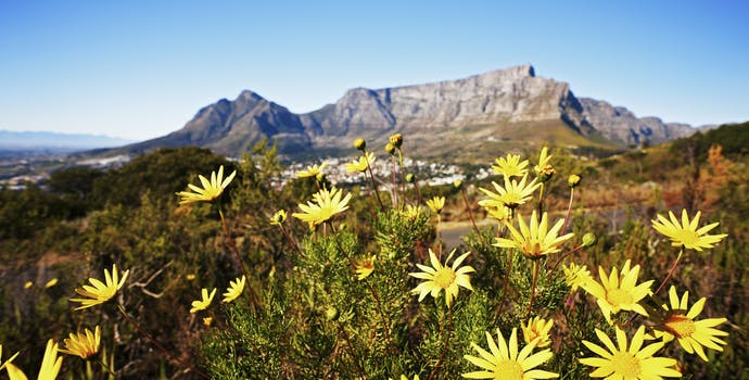 Table Mountain with wild daisies in foreground