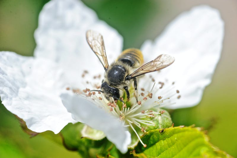 Bee pollinating coffee plant in Panama