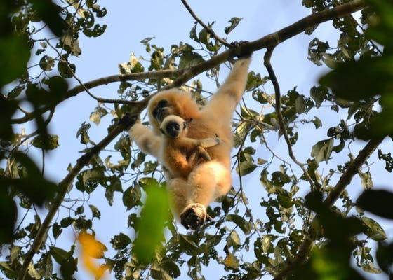 Female gibbon with infant