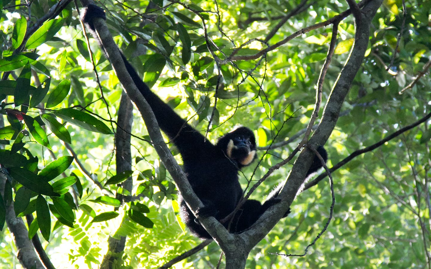 Northern buff cheeked gibbon, Veun Sai Conservation Area, Cambodia