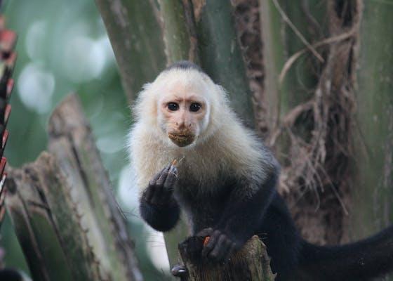 White-faced capuchin, Osa Peninsula, Costa Rica