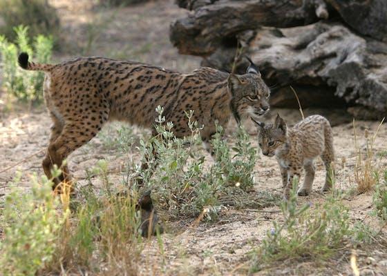Two Iberian lynxes in Spain
