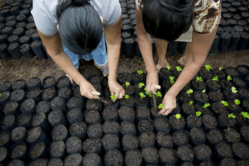 Women planting coffee saplings