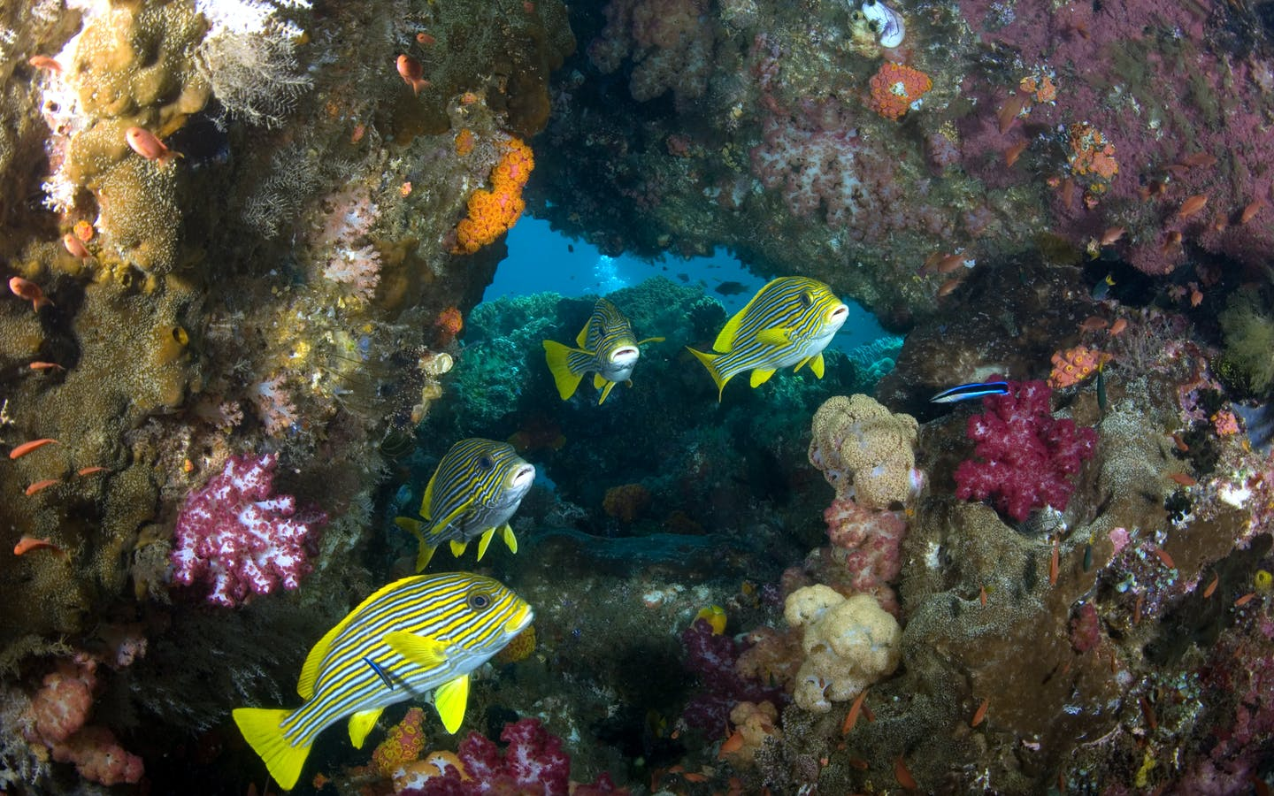 Yellow fish and coral reef in the ocean in Birds Head Seascape, Raja Ampat, Papua, Indonesia.
