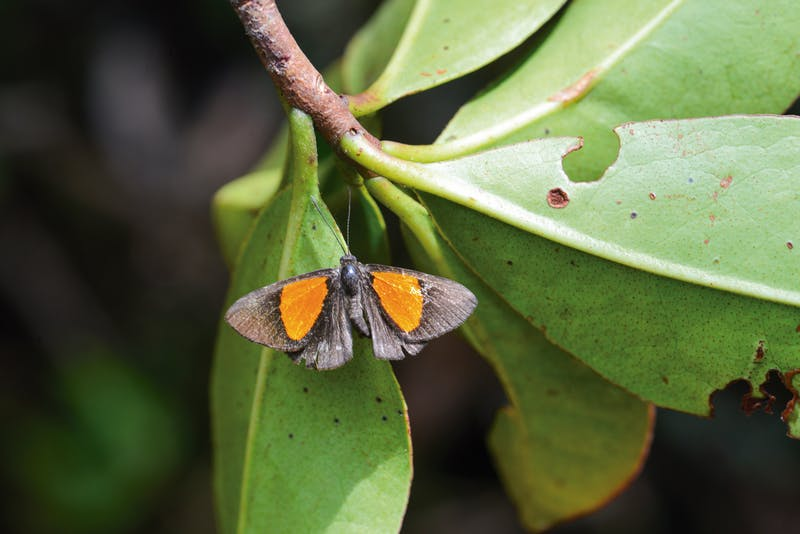 A new species of metalmark butterfly (Setabis sp. nov.) discovered on the Zongo RAP expedition in Bolivia.