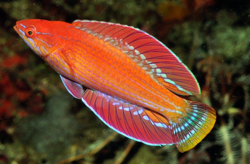 A new flasherwrasse fish species, Paracheilinus rennyae