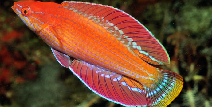 Photos of a new flasherwrasse fish species, Paracheilinus rennyae.