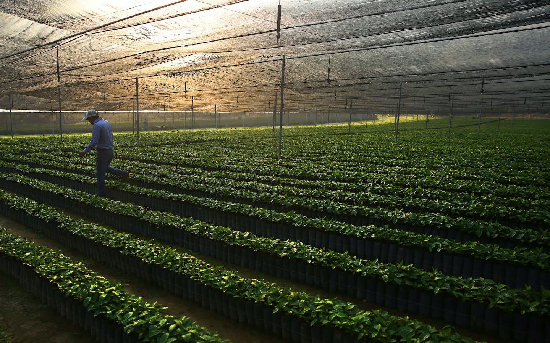 Coffee trees grow at ECOM's Jaltenango, Chiapas, Mexico coffee tree nursery
