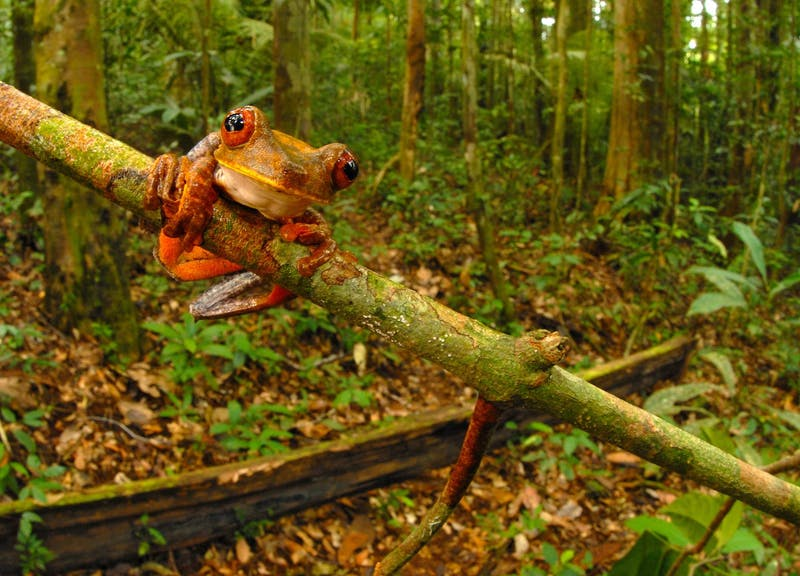 A tree frog (Hypsiboas geographicus) clings to a branch in the lowland forest near Kasikasima.