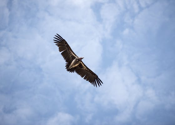 Vulture in the sky