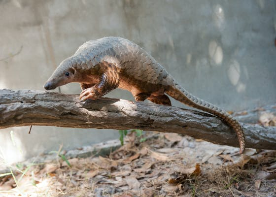 The Pangolin Rehabilitation Center, opened Dec 2012 as a joint effort between CI and the Forestry Administration, is a new initiative to care for injured pangolins rescued from the growing wildlife trade in Cambodia.