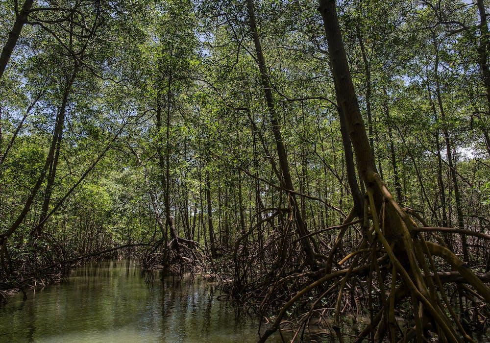 Mangrove forest in Brazil