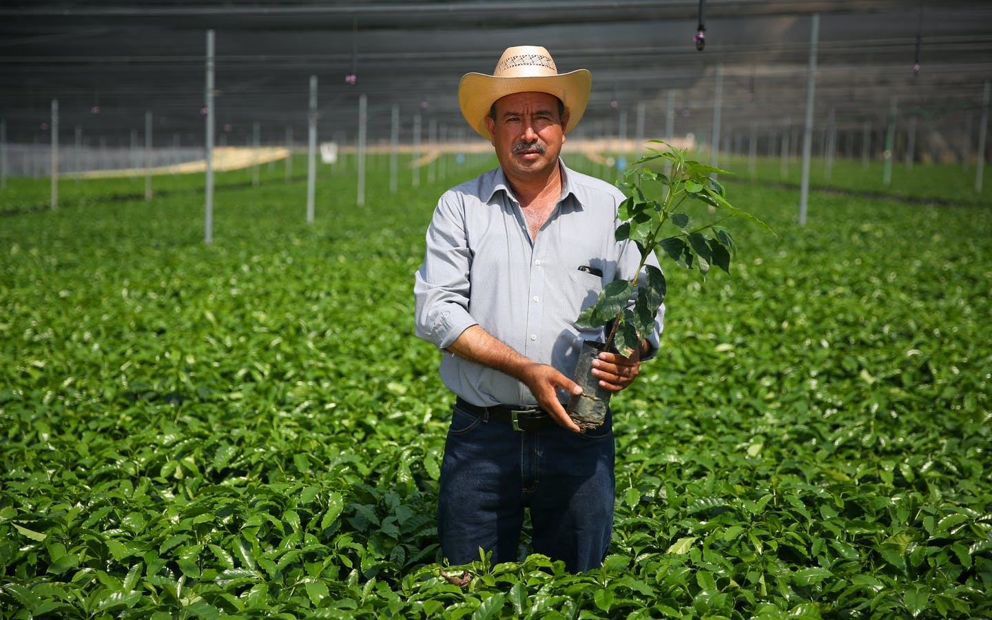 Coffee farmer Martiniano Moreno Alvarado looks at hybrid coffee tree at Jaltenango, Chiapas, Mexico coffee tree nursery.