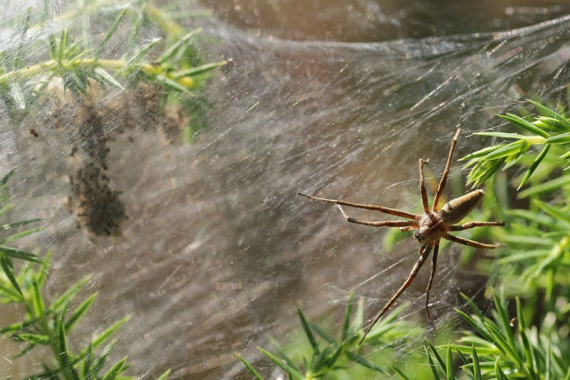 Nursery web spider - Pisaura mirabilis with cocon full of young spiders