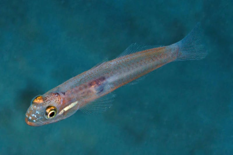 A likely new species of dartfish in the genus Parioglossus