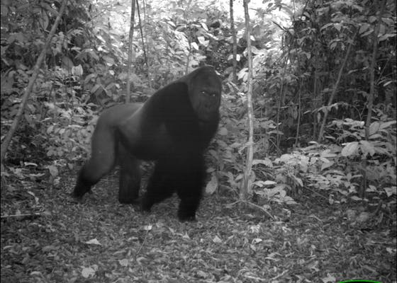 A camera-trap image of a western gorilla in Nouabale-ndoki National Park, Republic of Congo.