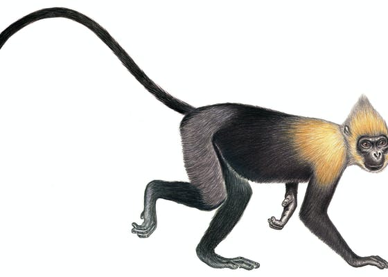 Golden-headed langur or Cat Ba langur (Trachypithecus poliocephalus poliocephalus), Vietnam