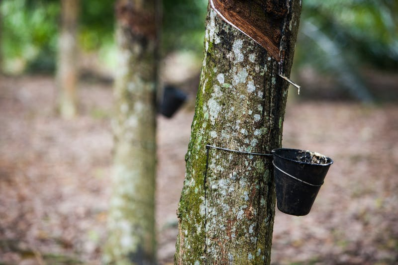 Rubber trees in Malaysia