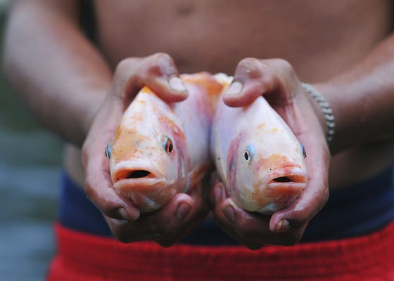 Two Tilapia fishes in hands of fisherman, Ecuador.