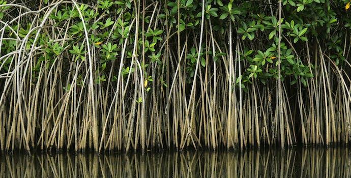 Mangrove forest in coastal Liberia, West Africa.