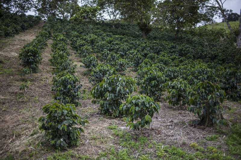 Rows of coffee trees at Emilse Perez's farm