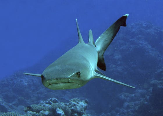 A white-tipped reef shark, Triaenodon obesus, prowls a reef in the Lau Islands.