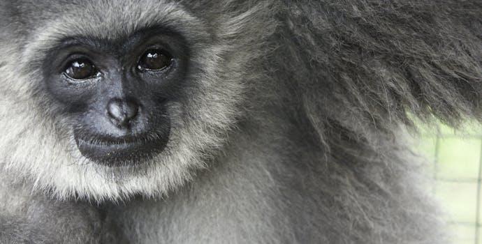 (Hylobates moloch) Javan Gibbon, AKA Silvery Gibbon