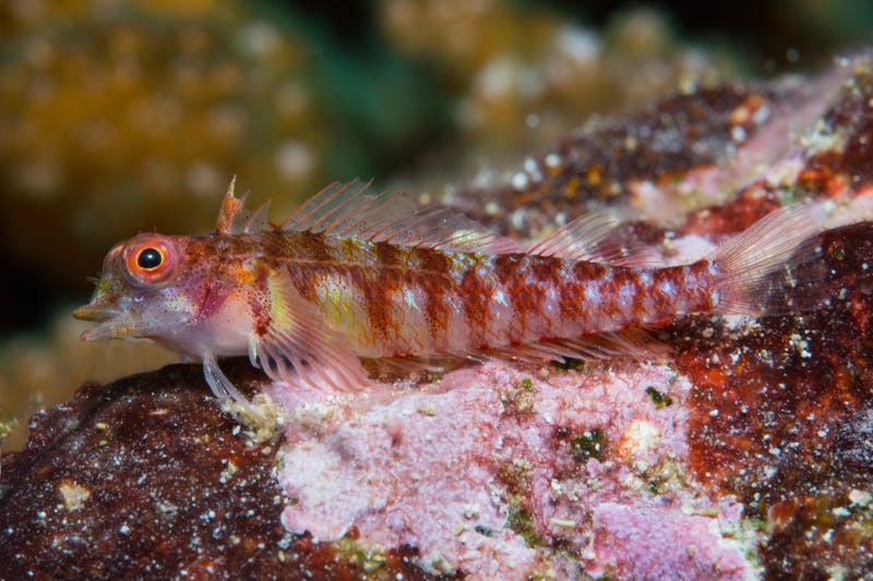 Potentially new species of triplefin in the genus Enneapterygius.