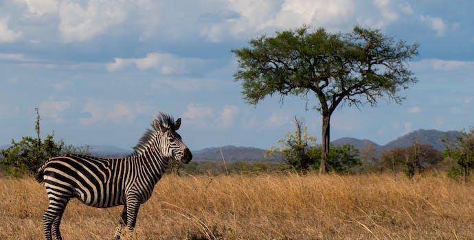 Zebra in Doma, Tanzania