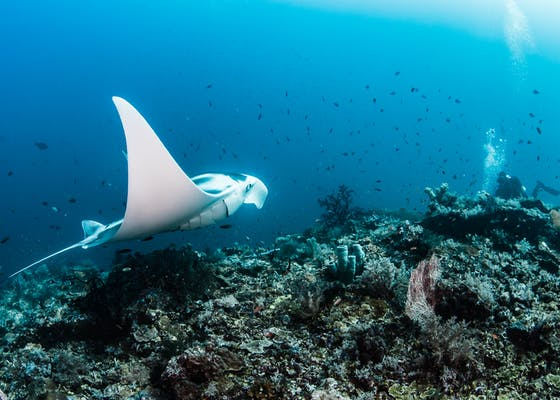 Divers swim with fish and mantas amongst the coral in Raja Ampat, Indonesia.