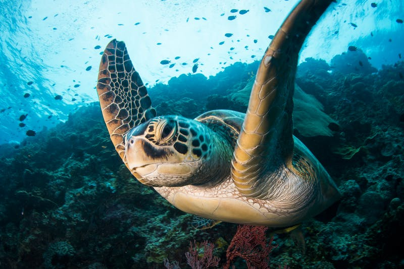 A green sea turtle, Chelonia mydas, glides against the current at the reef edge of Bunaken Island, Bunaken National Marine Park, Sulawesi, Indonesia.