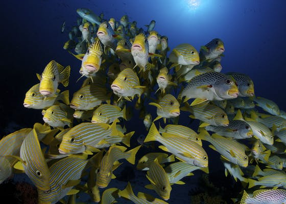 A school of diagonal banded and yellow ribbon sweetlips.