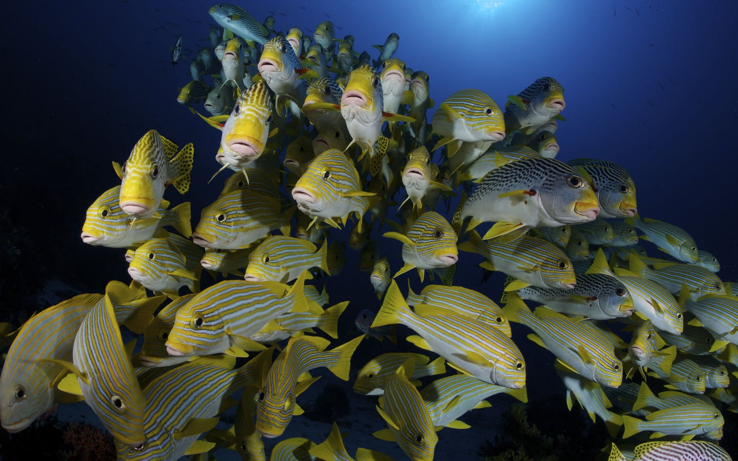 A school of diagonal banded and yellow ribbon sweetlips. Populations of commercially important fish species like these have been increasing in Bird's Head.