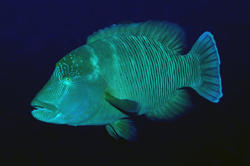 A humphead wrasse swims near Atauro Island, Timor-Leste.