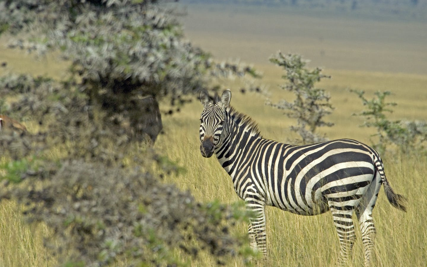 Zebra in Kenya.