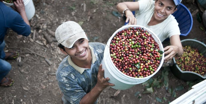 Picking coffee berries